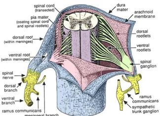 Spinal cord sectional anatomy in detail