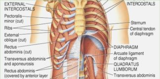 Anatomy abdomen muscles diagram