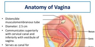 Anatomy of vagina diagram