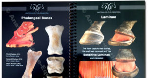 Phalangeal bones and laminae of horse