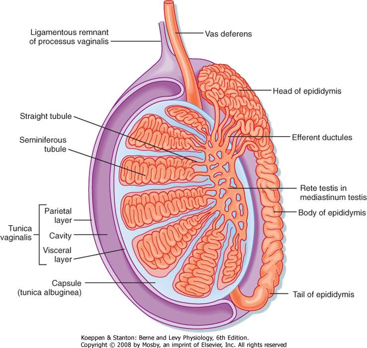 Male Testicles Anatomy Diagram