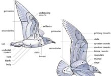Gull anatomy