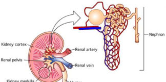 Nephron gross view