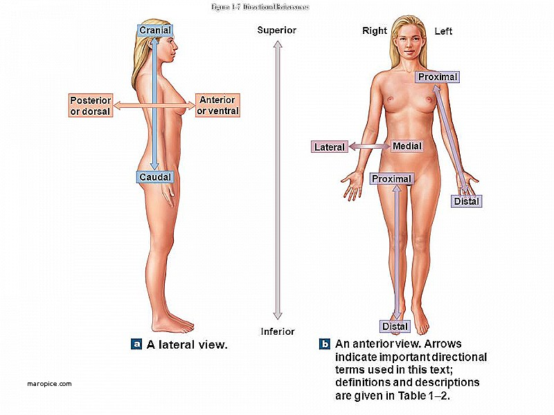 Human body direction medical terminology