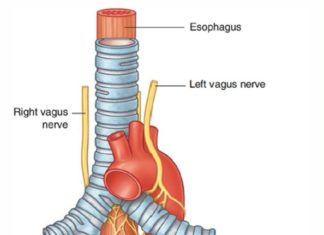 Vagus nerves innervation diagram