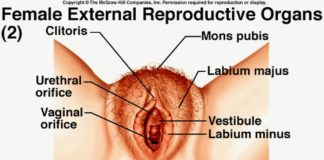 Perineum, anus, labium minus and labium major location diagram