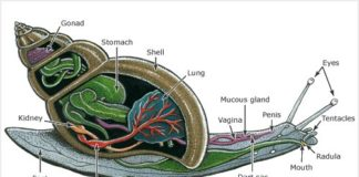 Snail internal anatomy
