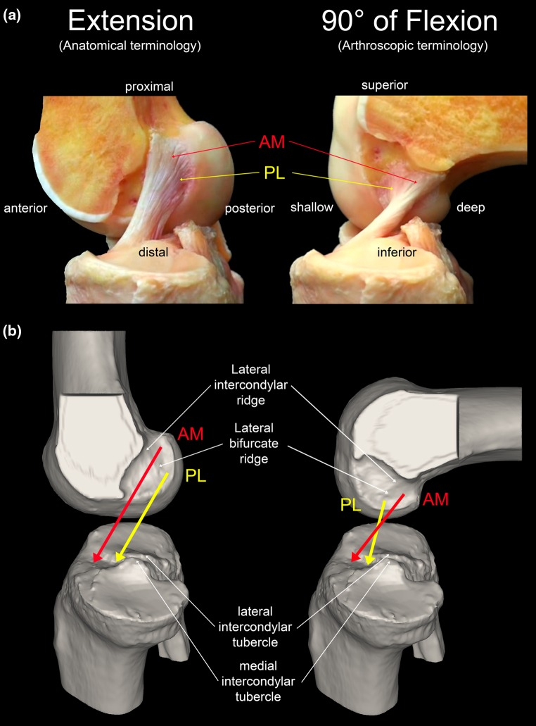 ACL anatomy extension anatomical terminology and flexion arthroscopic terminology