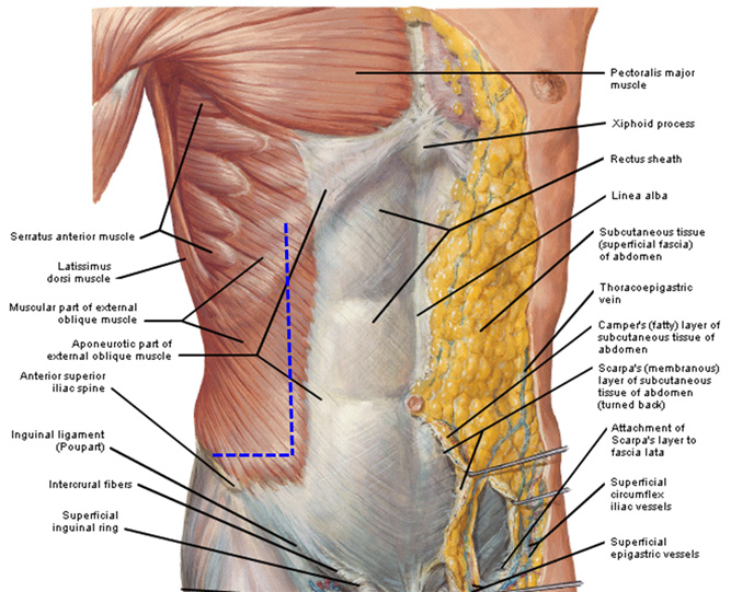Abdomen layer anatomy