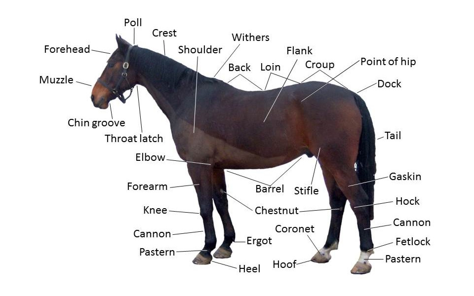Anatomy of the horse external view