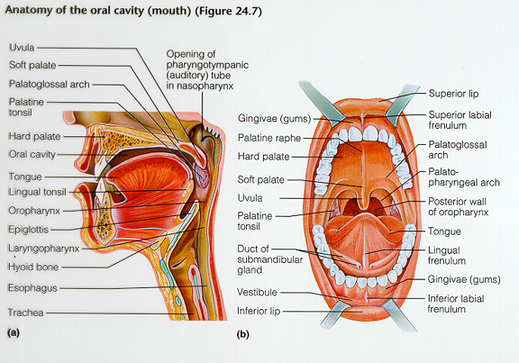 Anatomy of the oral cavity mouth lateral view and anterior view