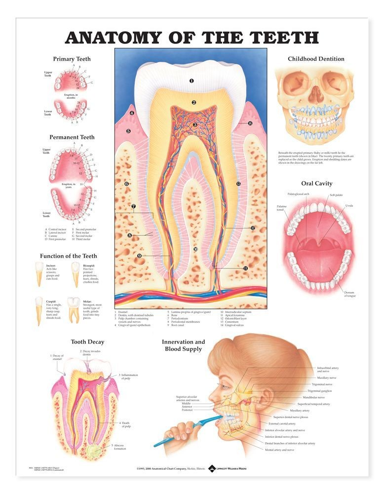 Anatomy of the teeth gross introduction