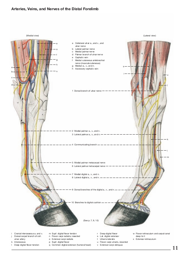 Arteries, veins, and nerves of the horse distal forelimb