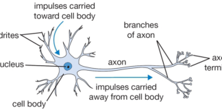 Axon and branches of axon anatomy