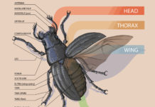 Beetle anatomy structure