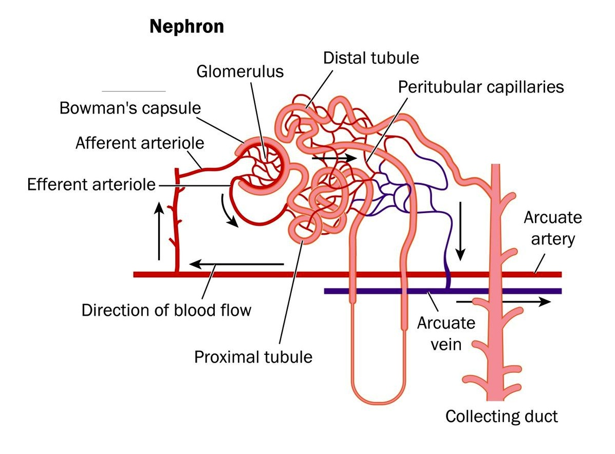Blood flow in nephron, afferent arteriole, and efferent arteriole anatomy