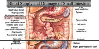 Blood supply and drainage of small intestine