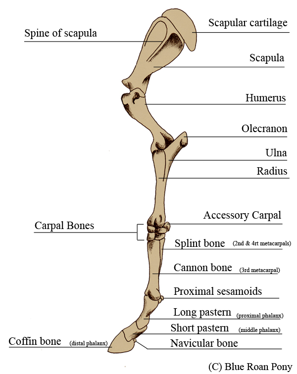 Blue roan pony leg bone anatomy