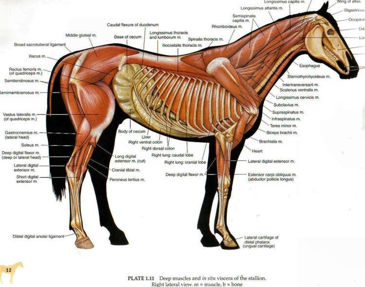 Equine horse deep muscles and in situ viscera of the stallion right lateral view muscle and bone