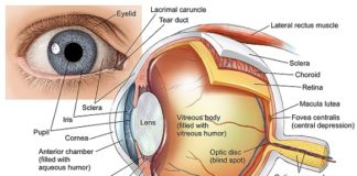 Eye Anatomy (labeled)