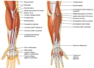Flexor carpi radialis muscle and brachioradialis muscle anatomy