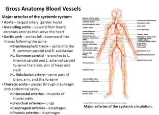 Gross anatomy of blood vessels introduction