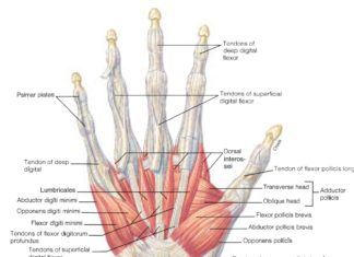 Hand tendon and muscles anatomy anterior view