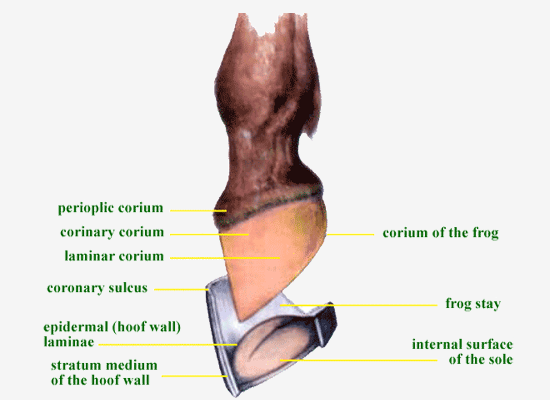 Horse hoof anatomy diagram