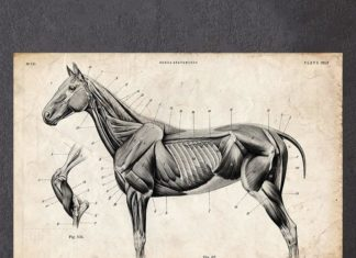 Horse muscles anatomy without labeled