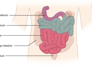 Intestines gross parts