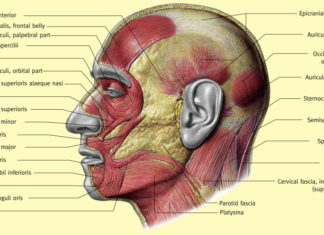 Lateral view of head muscles of human