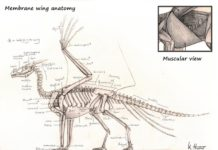 Membrane wing anatomy and feather wing anatomy
