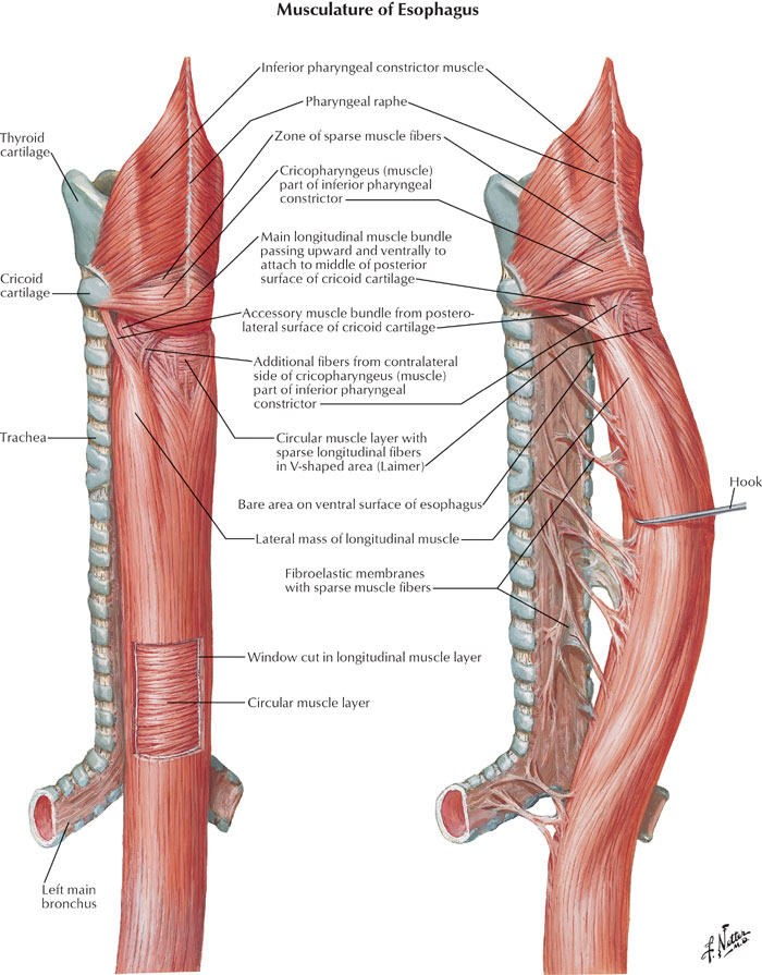 Musculature of esophagus anatomy diagram