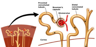 Nephron anatomical structure