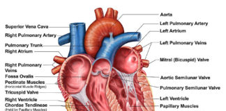 Papillar muscles of heart anatomy