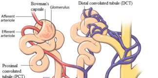 Proximal tubule, henle's loop, distal tubule, and collecting tubule anatomy