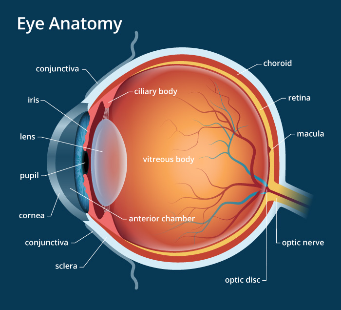 Pupil and lens location eye lateral view