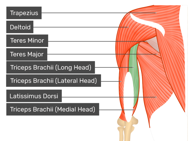 Shoulder muscles anterior gross view