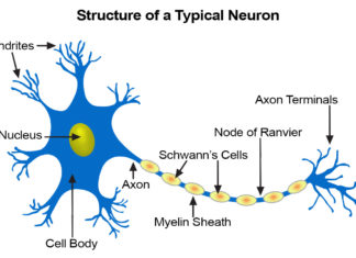 Structure of a typical neuron anatomy