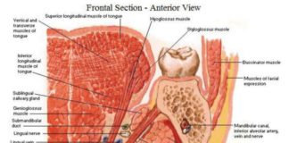 Sublingual salivary gland anatomy frontal section anterior view of oral cavity