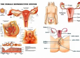 The female reproductive system diagram
