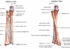 Ulnar bone and radius bone anterior view and posterior view