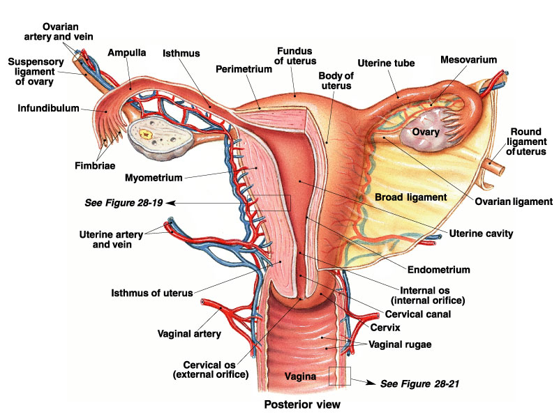 Woman reproductive system sectional view in detail