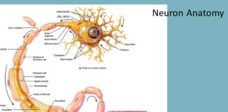 Parts of motor neuron anatomy
