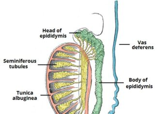 Epididymis and testis sectional view