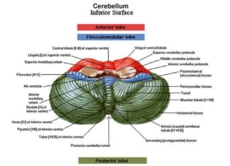 Cerebellum inferior surface anatomy
