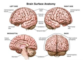 Brain surface anatomical structure diagram