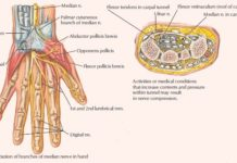Palmar cutaneous branch of median nerve anatomy