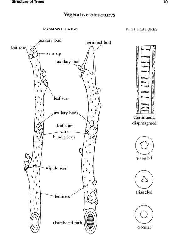 Structure of trees branch
