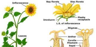 Sunflower anatomy
